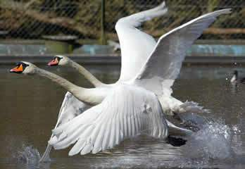 Even The Swans Think...
