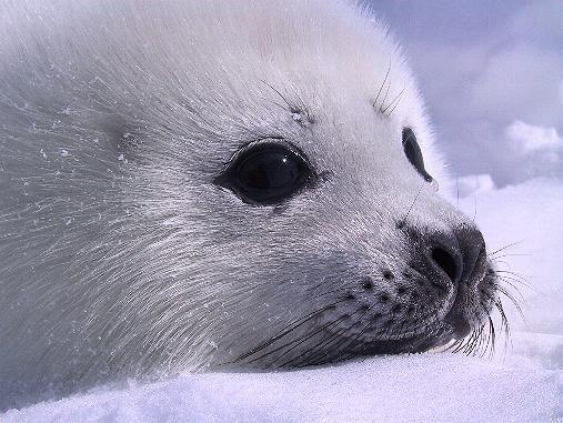 ALERT: Baby seals wi...