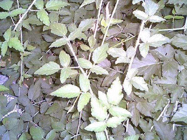 Is this poison oak?...