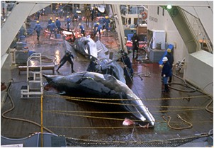 Whale slaughter...
