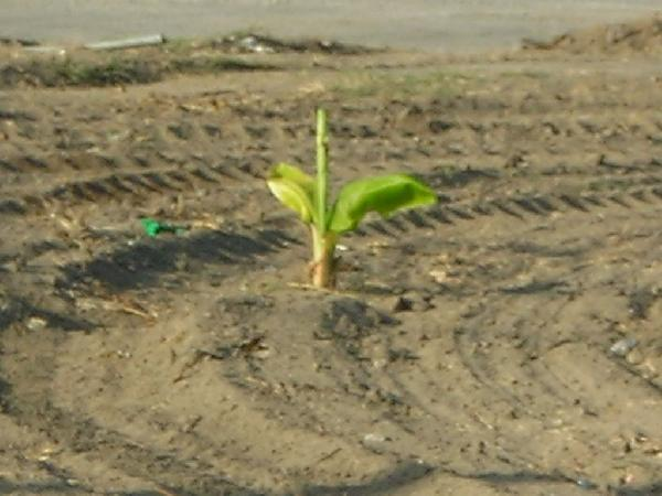 Young banana tree? C...
