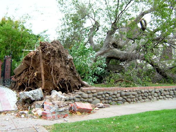 Large Tree Uprooted...