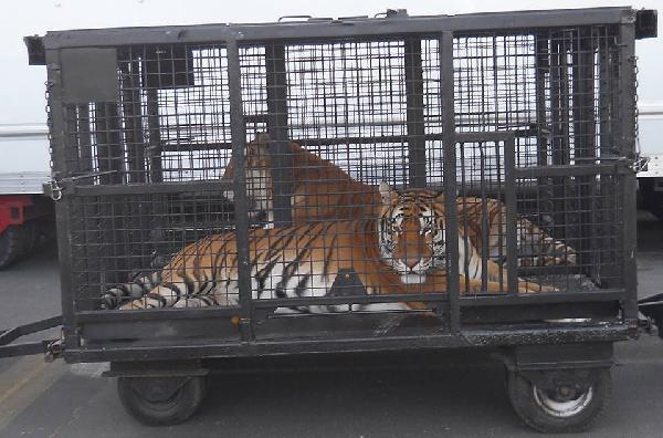 Ringling Bros. tiger...