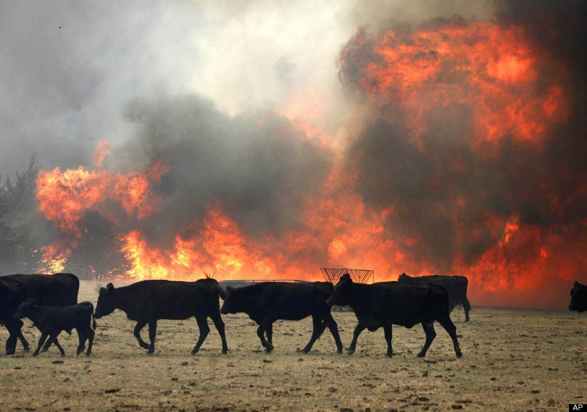 Cows On Fire In Wash...