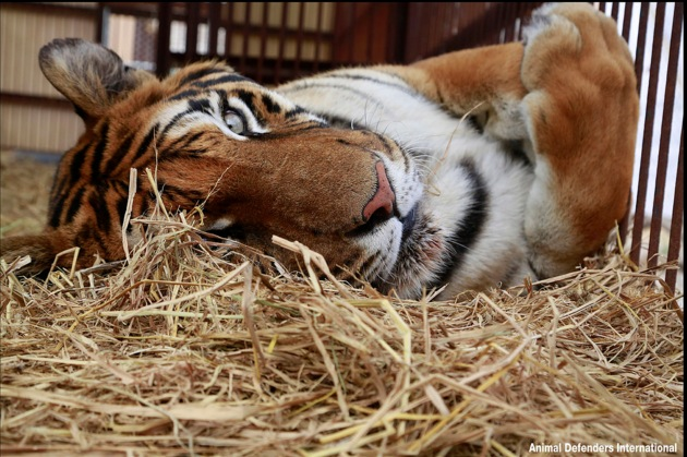 Abused tiger retirin...