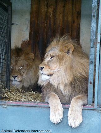 Use of circus lion i...