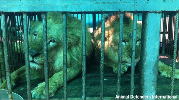 VIDEO: 33 lions leav...